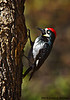 Acorn Woodpecker Male, Madera Canyon, AZ