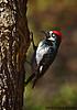 Acorn Woodpecker Male, Madera Canyon, AZ