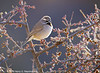Black-Throated Sparrow, Organ Mountains, Las Cruces, NM