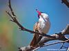 Violet-Crowned Hummingbird Male, Paton's Center for Hummingbirds, AZ