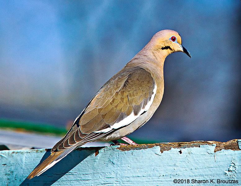 White-winged Dove, Paton's Center for Hummingbirds, AZ