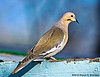 White-winged Dove, Paton's Center for Hummingbirds, AZ