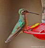Magnificent Hummingbird Female, Madera Canyon, AZ
