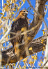 Red-Tailed Hawk, San Pedro House, Sierra Vista, AZ