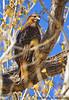 Red-Tailed Hawk, San Pedro House, Sierra Vista, AZ