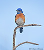 Western Bluebird Taking a Break