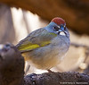 Green-Tailed Towhee, San Pedro House, Sierra Vista, NM