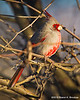 Pyrrhuloxia Male Enjoying Sunset