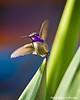 Costa's Hummingbird Male, Saguaro Nat'l Park, AZ
