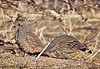 Mixed Couple: Scaled Quail Female and Gambel's Quail Male
