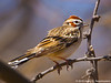 Lark Sparrow, Paton Hummingbird Center, Patagonia, AZ