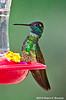Magnificent Hummingbird Male, Madera Canyon, AZ