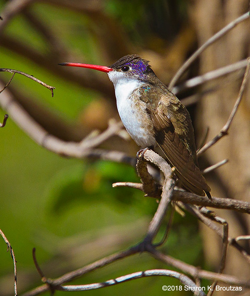 Violet-Crowned Hummingbird Male, Paton's Center for Hummingbirds, AZ