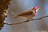Cassin's Finch, Paton Hummingbird Center, Patagonia, AZ