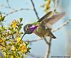 Costa's Hummingbird at Saguaro National Park, AZ