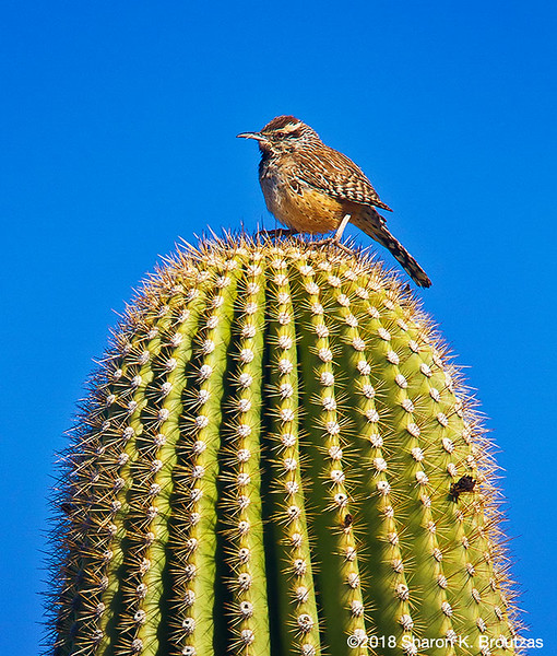 Cactus Wren, Saguaro Nat'l Park, AZ