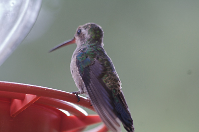 We saw some 10 species of hummingbirds