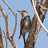 Male guilded Flicker