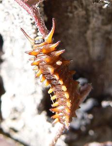 DMPipevSTCAT869 April 14, 2007  11:12  a.m. P1000869 Pipevine Swallowtail caterpillar, Battus philenor,  SE Az