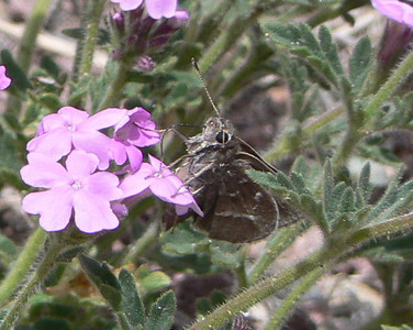 DM1WhBarSkDakVerb20 April 16, 2007   1:13 p.m.  P1010020 White-barred Skipper, Atrytonopsis pittacus. on Dak. Verbena     S.E. Az.