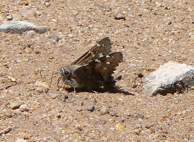 DMShTailSk977 April 15, 2007  11:50 a.m.  P1000977 Short-tailed Skipper, Zestusa dorus S. E. Az.