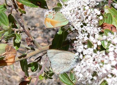 DM2HSSp969 April 15, 2007  11:32 a.m.  P1000969 Siva Juniper Hairstreak and Arizona Hairstreak on ceanothus. S. E. Az.