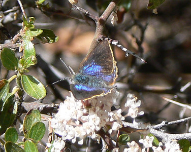 DM1AzHSDor2 April 15, 2007  2:31 p.m.  P1010002 Arizona Hairstreak upper side Erora quaderna                S. E. Az.