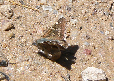 DMSh-tSk981 April 15, 2007  11:51 a.m.  P1000981 Short-tailed Skipper, Zestusa dorus S. E. Az.