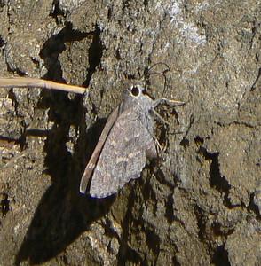 DMSheepSk868 April 14, 2007  9:44 a.m. P1000868 Sheep Skipper, Atrytonopsis edwardsii SE Az