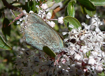 DMAzHS971 April 15, 2007  11:32 a.m.  P1000971 Arizona Hairstreak, Erora quaderna S. E. Az.