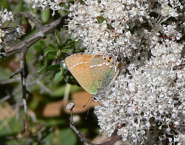 DMSivaJunHS954 April 15, 2007   11:05 a.m.  P1000954 Siva Juniper Hairstreak, Callophrys  gryneus siva               S. E. Az.
