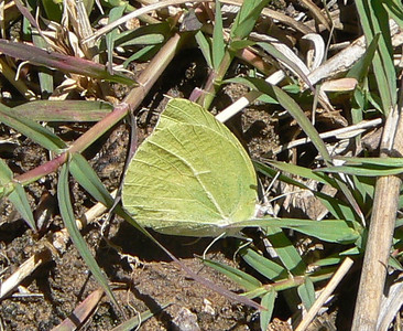 DMLysideS893 April 14, 2007 11:42 a.m.  P1000893 Lyside Sulphur, Kricogonia lyside SE Az