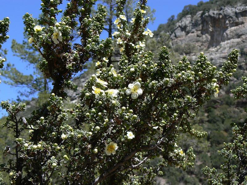 DMClRose983hostDesElf April 15, 2007  12:49 p.m.  P1000983 Cliff Rose, Cowania mexicana (Desert Elfin host,Callophrys fotis)      S. E. Az.