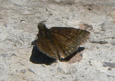 DM1SleepyDwg78  April 17, 2007  12:02 p.m.  P1010078 Sleepy Duskywing, Erynnis brizo S. E. Arizona