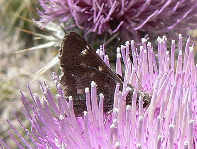 DM1WhBarSk51 April 16, 2007  2:45 p.m.  P1010051 White-barred Skipper, Atrytonopsis pittacus on thistle               S. E. Az.