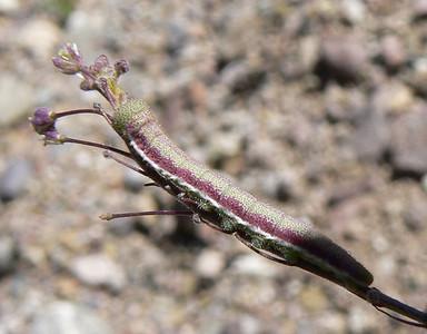 DMDesPrlyM865 April 14, 2007  +/- 9:39 a.m.  P1000865 Desert Marble caterpillar, Euchloe lotta SE Az
