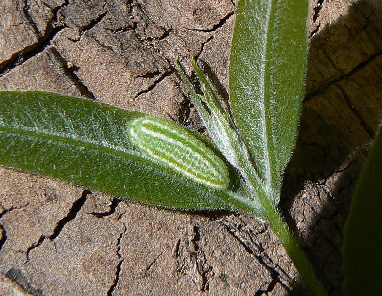 DM1SoapbCAT9 April 16, 2007, 10:12 a.m.  P1010009 Soapberry Hairstreak caterpillar   Host Sapindus drummondii.  Is this a twig?