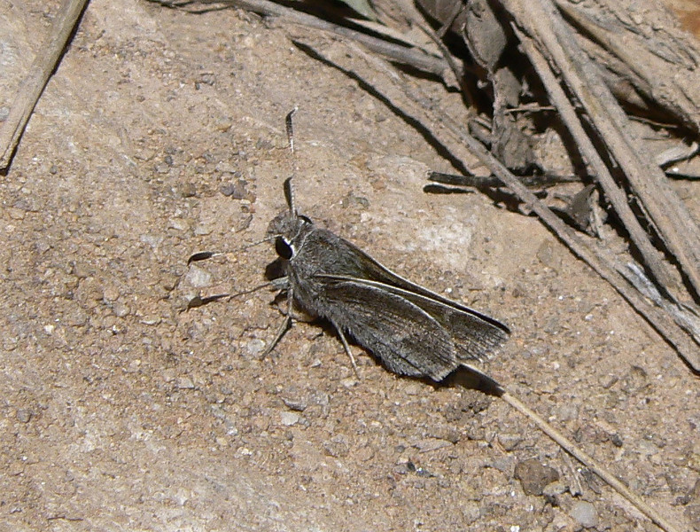 DMWhBarredSk944 April 15, 2007  10:35 a.m.  P1000944 White-barred Skipper, Atrytonopsis pittacus               S. E. Az.