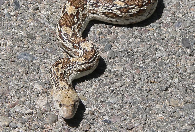 DMBullSn997 April 15, 2007  1:34 p.m.  P1000997 Bull Snake S. E. Arizona