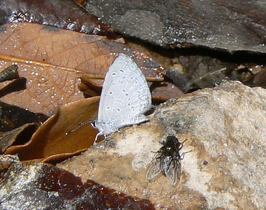 DMEchoAzure923 April 15, 2007  9:29 a.m.  P1000923 Echo Azure, Celastrina echo S. E. Arizona