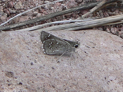 DM1DotdRSk19 April 16, 2007  1:06 p.m.  P1010019 Dotted Roadside Skipper  Amblyscirtes eos                            S. E. Az.