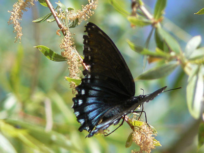 DM1RSPur171 April 19, 2007   9:55 a.m.  P1010171 Red-spotted Purple, Limenitis arthemis S. E. Arizona