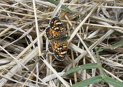 DM1PtdCres25 April 16, 2007  1:29 p.m.  P1010025 Painted Crescent, Phyciodes picta S. E. Arizona