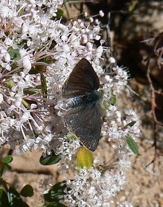 DMAzHSdorsal953 April 15, 2007   10:48 a.m.  P1000953 Arizona Hairstreak, Erora quaderna Upper side                S. E. Arizona