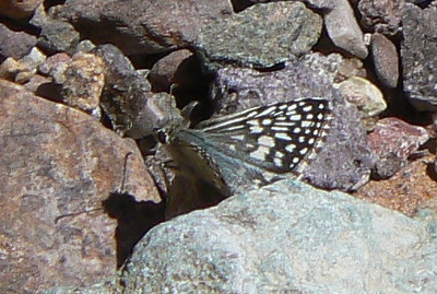 H03969  DM1PyrgusPhiletas69 April 17, 2007   11:08 a.m.  P1010069 Desert Checkered Skipper, Pyrgus philetas                                S. E. Az.