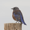 2013- NM-western bluebird-DPP- Ghost Ranch-Sept