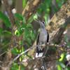 2013- AZ- blue-throated hummingbird5- DPP-Cave Creek- Sept