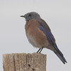 2013- NM_ western bluebird3- Ghost Ranch- Sept