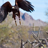 Harris hawk taking flight