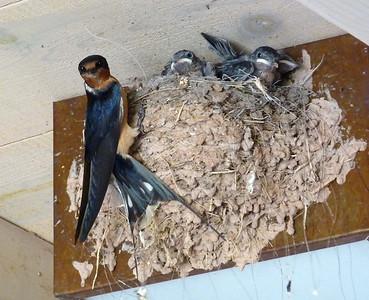 Barn Swallows at Ghost Ranch, NM